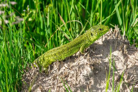 lizard in field: The Big Green Lizard en la Piedra
