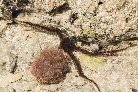 Ophiura albida is a species of brittle star in the Tanzania Reklamní fotografie
