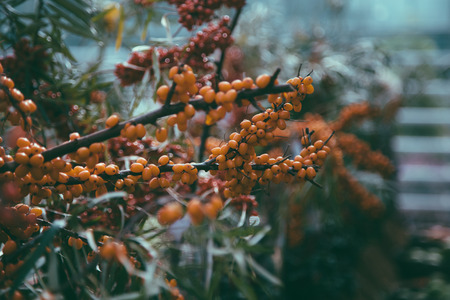 farther: Leaves, branches and berries of sea buckthorn. Other red blurred berries farther