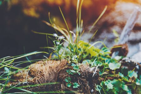 threadlike: Macro shoot of small flowers and grass growing from threadlike curly roots and moss with blurred mountain river in the background, pinery, Russia, Sayan