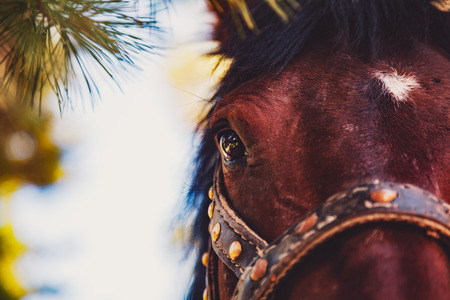 pinery: Close-up view of maroon horse head with white spot on the forehead, eye in focus, with bridle, pinery on summer sunny day, Russia, Sayan forests Stock Photo