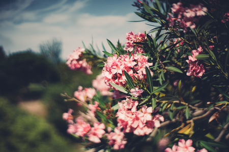 fascicule: True tilt shift shooting of spring flowers on tree with narrow leaves, multiple pink blossoms on shrub, shallow depth of field, sunny summer day with teal sky Stock Photo