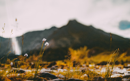 Tilt-shift shooting of autumn scenery with thin stems of wildflowers on pebble Katun river bank in foreground and hill ridge in defocused background, Altai mountains near Chemal district, Russia