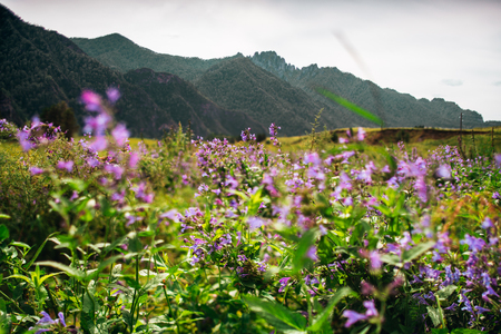 pacification: Tilt-shift shooting of beautiful summer scenery with lilac wildflowers in foreground on the meadow with native grasses and Altai mountain ridge in background on sunny day, Russia