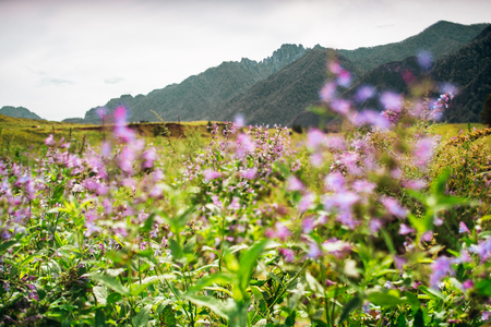 Tilt-shift view of idyllic summer scenery with purple flowers in foreground on grassland surrounded by greenery and mountain ridge in background, Altai mountains near Chemal district, Russia