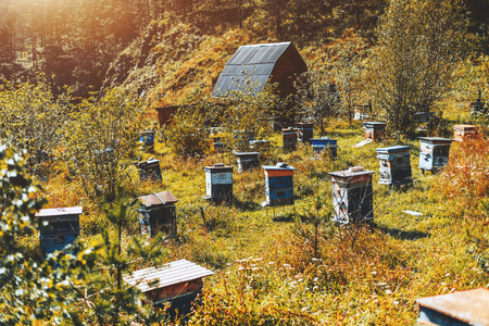 Multiple small beehives on mountain meadow with wildflowers and native grasses on sunny autumn afternoon, house of bee-master in background, Altai mountains, Chemal district, Russia Stock Photo