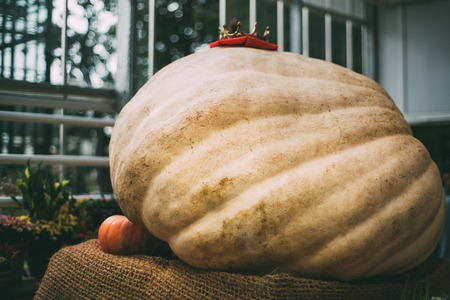 Extremely huge, giant beige pumpkin with golden crown on the top is laying on sacking in glasshouse after harvesting with regular orange pumpkin near and looks so small, shallow depth of field