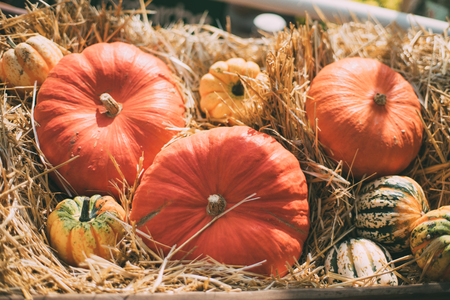 Still-life with multiple orange, beige and variegated pumpkins�laying on dry thatch after harvesting on sunny autumn day; shallow depth of field