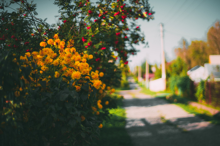 Beautiful bush of yellow flowers with ripe mountain ash behind, sunny autumn day, street stretching into blurred distance in background, clear blue sky, electric main poles Stock Photo