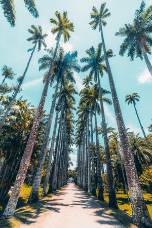 Wide-angle view from bottom of alley with stunning giant Roystonea oleracea palm trees surrounded by lawns located in Jardim Botanico botanic garden in Rio de Janeiro, Brazil; summer day, no people