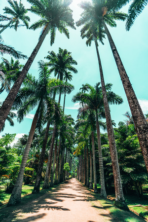 Wide-angle view from bottom of empty alley with stunning huge imperial palm trees surrounded by green lawns located in Jardim Botanico botanic garden in Rio de Janeiro, Brazil; teal sky, no people
