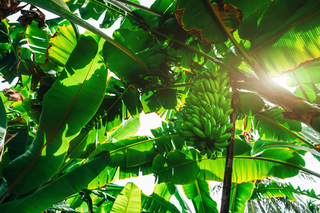 View from bottom of the banana garden with plenty of palms, giant green leaves, and a huge unripe hand of bananas on the branch supported by rusty pole; bright day in a jungle forest