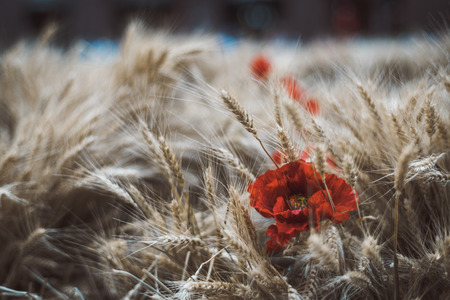 Wheat crop with the flower of poppy on the left, spicate ripe corn on the field with a single red artificial bud, shallow depth of field Banco de Imagens