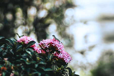 The lizard or gecko froze on the pink flowers of bush in a park; shallow depth of field, strong bokeh in a defocused background