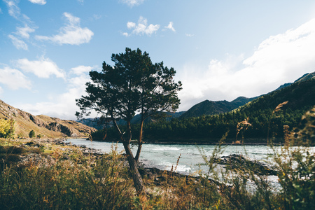 A close-up wide-angle shot of a single pine tree located on the rocky riverbank with the valley, hills overgrown with coniferous forest in the distance, native grasses in the foreground, Altai, Russia