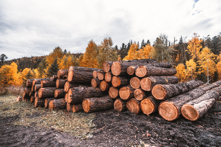 Wide-angle shot of a stockpile of fresh logs in the autumn woods with a mud ground in the foreground; a huge heap of a raw wood lumbers with a mixed fall forest in the background, rustic sawmill