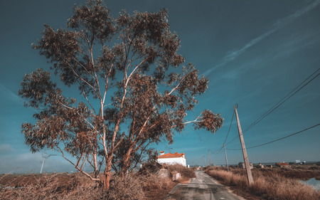 Wide-angle view of a huge eucalyptus tree on wintertime in Portugal near an abandoned road with forsaken houses in the distance, poles with wires on the right, deep blue sky, dry grass Imagens