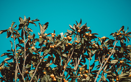 Horizontal shot from the ground of clusters of ripe medlar (Mespilus germanica) fruits of orange and yellow color surrounded by oblong leaves on the tree branch with a clear teal sky in the background