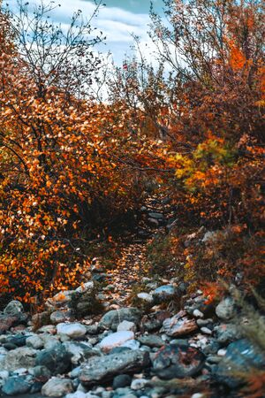 A long nature pathway between autumn bushes and small trees following up, with round stones from a river and yellowed fallen leaves on the ground; fall in Altai mountains, Russia, selective focus Stok Fotoğraf