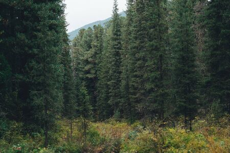 Deep taiga forest thicket with tall pines, firs, cedars, and other coniferous trees, small glade in the foreground with partly yellowed grass, Khakassia, Sayans mountains, Russia