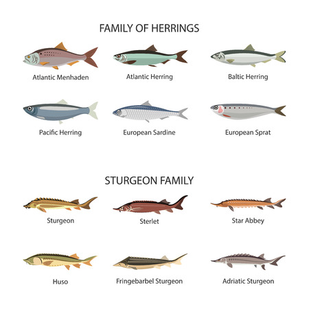 Fish vector set in flat style design. Herrings and sturgeon fishes.