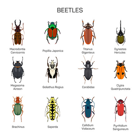 carabidae: Bugs vector set in flat style design. Different kind of beetles insect species icons collection. Isolated on white background.