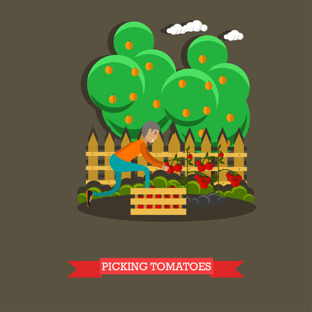 Picking tomatoes concept vector illustration in flat style. Gardener man picking tomatoes and putting them into wooden box.