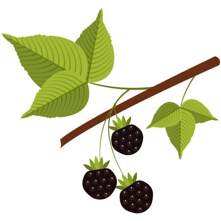 Juicy forest wild blackberry on stem flat vector icon