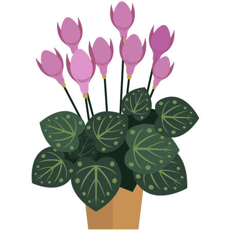 Indoor houseplant with spotted leaves and blooming violet bud 矢量图像