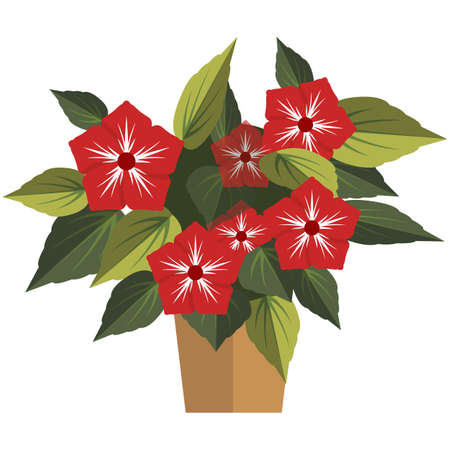 Blossom houseplant with red flower in pot isolated vector