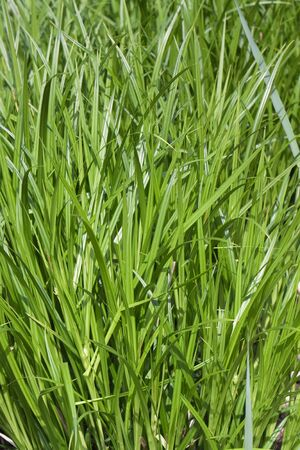 untreated: Untreated grass as a background