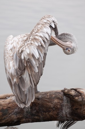 treetrunk: Pelican stands on a tree-trunk
