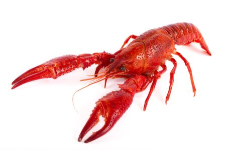 Red crawfish in front of white background