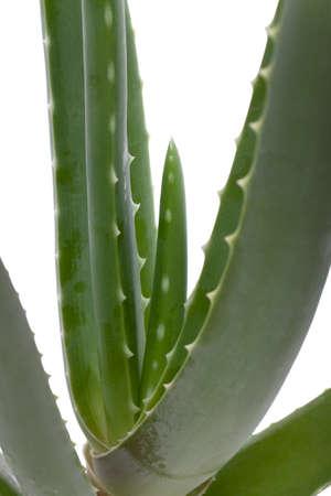 aloe barbadensis: Detail of an aloe vera plant