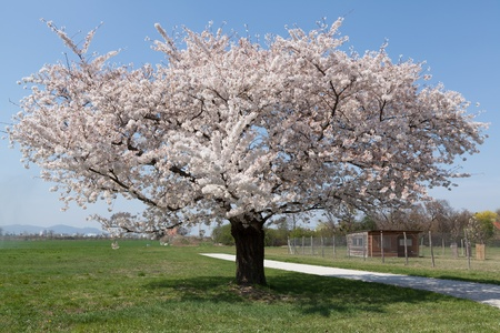 White flowering cherry tree in the spring stock photo picture and stock photo white flowering cherry tree in the spring mightylinksfo