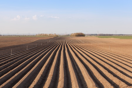 Asparagus field with irrigation system