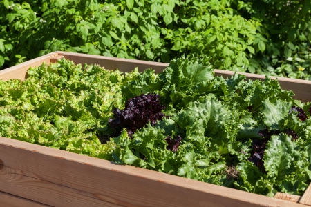 eating in the garden: Details of lettuce in raised bed Stock Photo