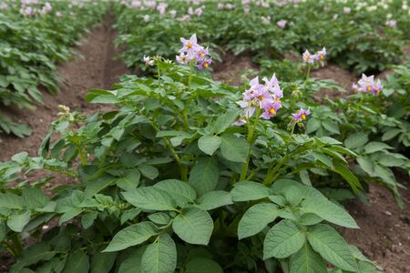 Purple flowering potato plants on field photo