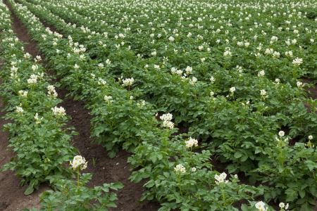 White flowering potato plants on field photo