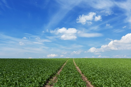 Field with sugar beets and furrows Stock Photo