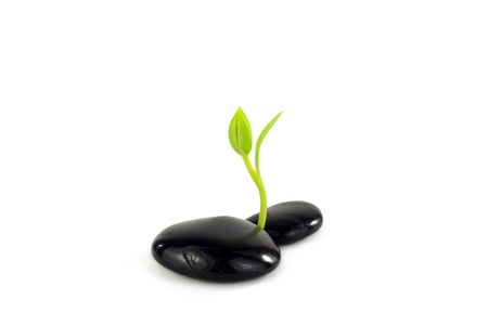 plantlet: Black stones with young little plant in front of white background Stock Photo