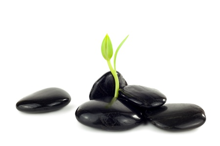 Black stones with young little plant in front of white background photo