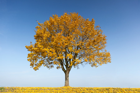maple tree: Maple tree in autumn with yellow leaves Stock Photo