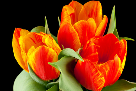Close up of Tulips in front of black background Stock Photo