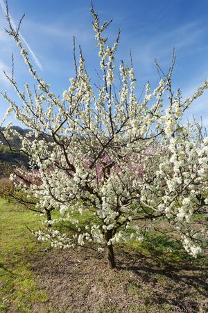 arbres fruitier: Arbres fruitiers en fleurs dans le jardin sur une journ�e ensoleill�e