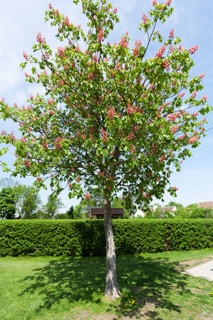 buckeye tree: Pink blooming chestnut tree in the garden Stock Photo