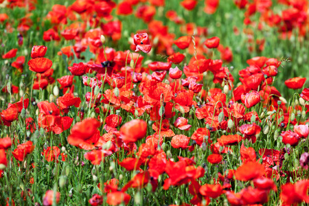 corn flower: Close up of red corn poppies on a field