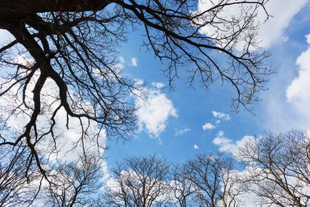 buckeye tree: Tree top with buds against blue sky and beautiful clouds Stock Photo
