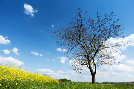 Single deciduous tree with blooming canola field