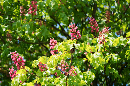Pink flowering branches of buckeye tree in the springtime